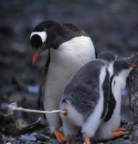 Pingvin-puki. Az igazi debil